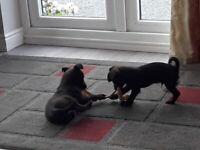 Chihuahua x terriers