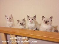 GCCF Champion line Ragdoll kittens