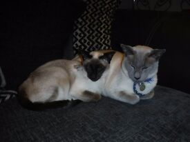 2 Siamese Looking for a New Forever Home