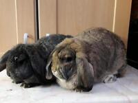 Pair of gorgeous rabbits