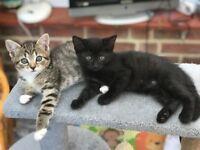 2 Kittens for Sale, Beautiful Tabby & Black sisters