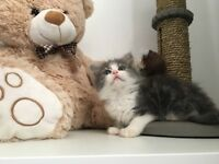 Two adorable fluffy kittens