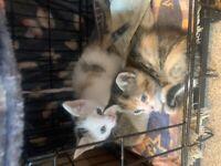 Lovely markings friendly kittens for sale £130