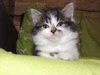 Beautiful litter of Siberian x kittens
