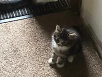 Tabby kitten.