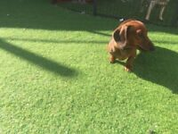 Miniature smooth Dachshund girl