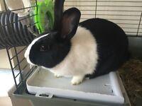 Female Dutch Rabbit (Free to Good Home)