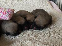 Stunning litter of KC registered fawn pug puppies