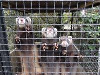 European Polecat Ferrets
