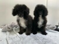 Stunning toy poodle pup top Pedigree