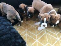 KC Boxer pups