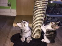 Beautiful Little Kittens looking for a New Home, Feltwell
