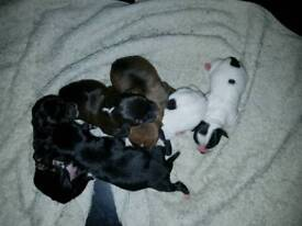 Jack Russell puppy for sell