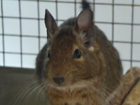 4 female Degus with large cage any remaining food and hay and full accessories