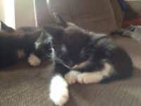X2 female black and White kittens ready now