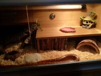 4 years old corn snake+ vivarium with full equipment