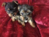 Miniature Yorkshire Terrier Puppies - Gorgeous