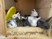 Minilop baby rabbits for sale! £60 each