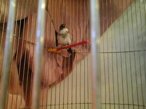 baby society finches
