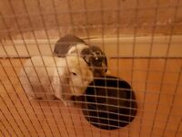 2 Giant french lop rabbits