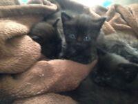 4 boy kittens and 1 girl kitten for sale