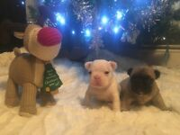 **BEST FRENCH BULLDOG PUPPIES KC REGISTERED WHITES FAWNS PIEDS