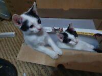 two 10 week old kittens