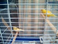 Baby Canary and Cage