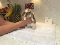 1 gorgeous mini lop buck