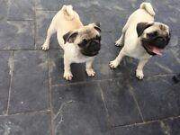 KC Registered Pug puppies 5* homes only