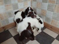 Springer Spaniel Dogs Puppies For Sale Gumtree