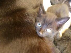 Rare BlackSmoke Kitten