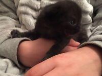 Ragdoll cross male kitten