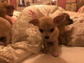 Chihuahua s