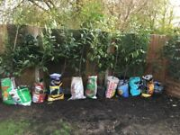 Laurel Bushes evergreen x 12 over 6ft potted established ready to plant