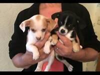 2 stunning chihuahua puppies