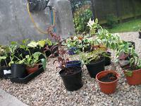 Assorted Perennial Plants for garden £1 each