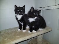 2 Black Kittens for sale £40 Ono each or £70 for both