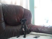 patterdale pups micro chipped