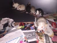 Male rats for sale