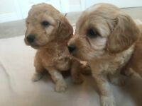 Cockerpoo puppies F1B PRA clear