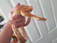 Adult Amel corn snake