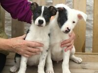 RARE OPPORTUNITY! Border collie pups ,
