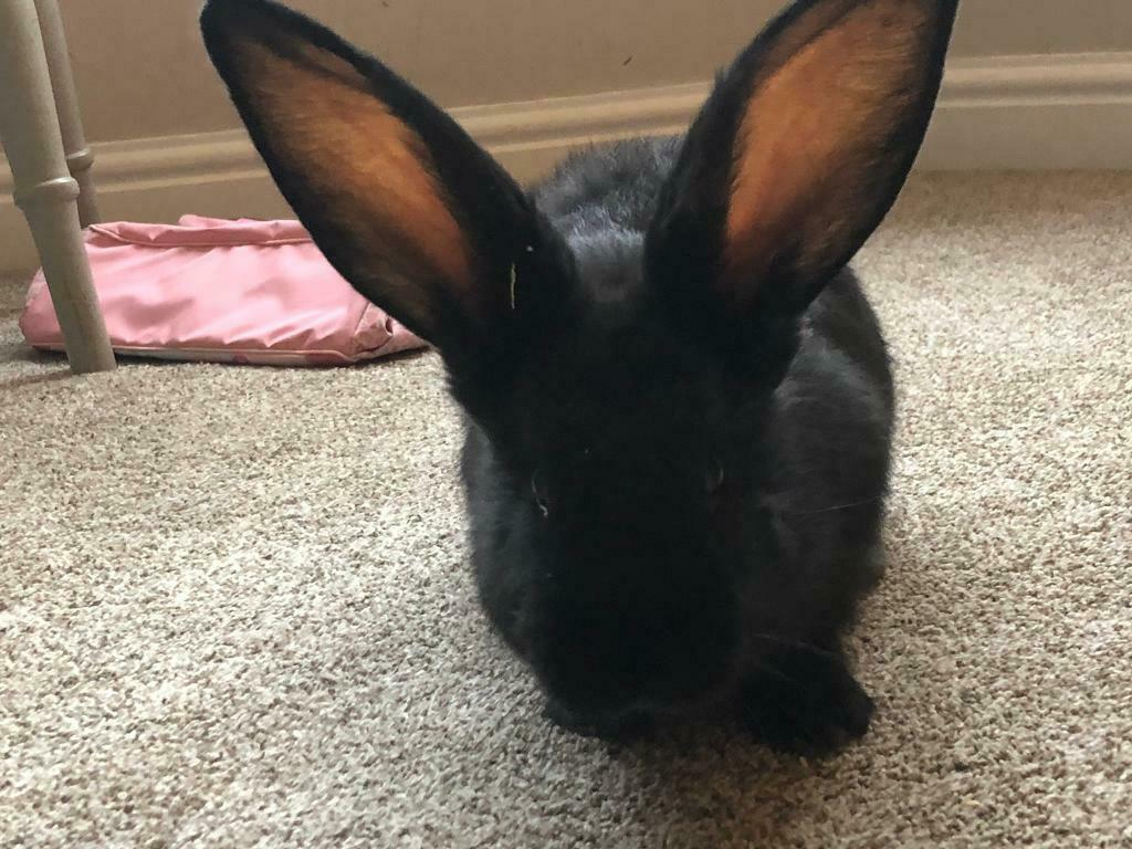 Giant Continental Rabbit In Grantham Lincolnshire Gumtree