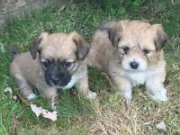 Gorgeous Jack Russell X Shih tzu puppies