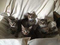 British Blue x Bengal Kittens
