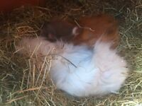 Guinea pigs free to a good home. 2x female