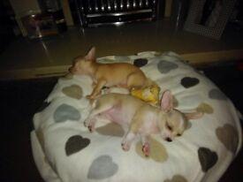 Chiwowa puppys female 10 weeks old