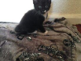 Cute little kitten 8 weeks old girl