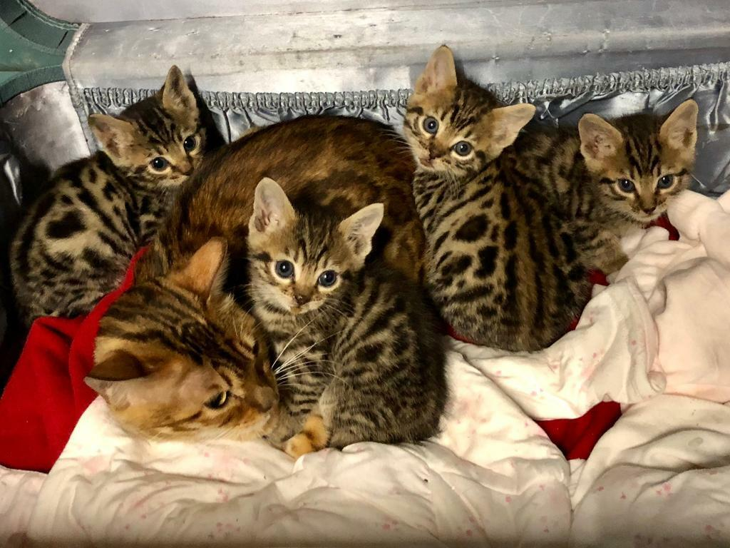 British Shorthair Mix Bengal Kittens For Sale In Shirley West Midlands Gumtree